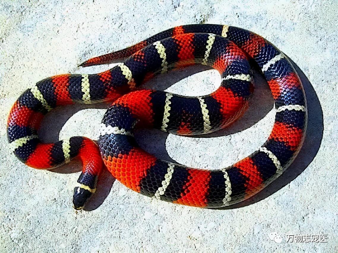 """宠物蛇的""""适新""""品种"""