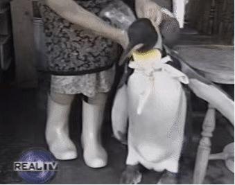 这只日本小镇的网红企鹅,每天最爱的事是背包去鱼店讨鱼吃~