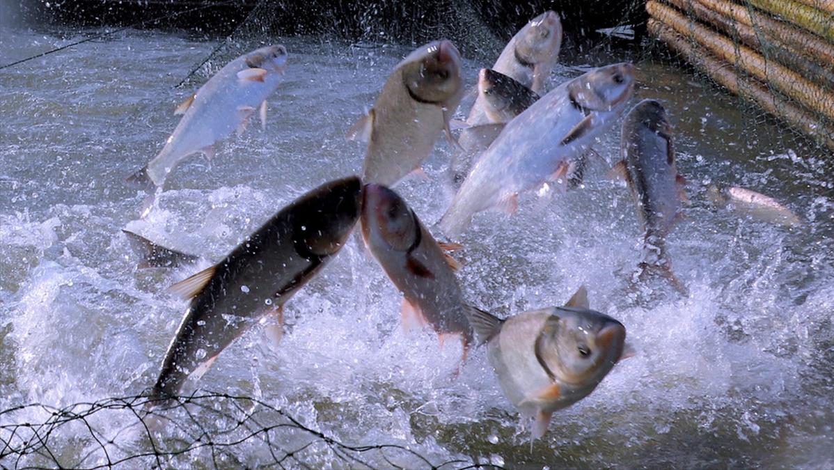 鱼在水面跳跃的可能原因分析,不慌乱要从容,要分门别类的应对