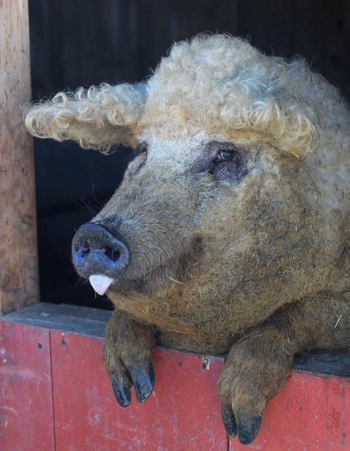 """薅猪毛也能做羊毛衫,披着羊皮的""""绵羊猪""""你见过没?"""