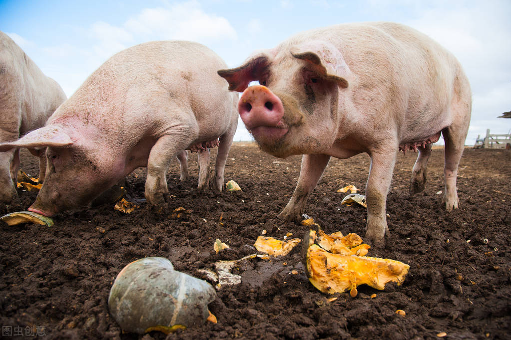 夏季高温对猪的危害_高温对猪的危害解决措施