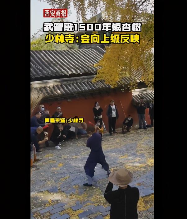 为拍视频,男子打落1500年树龄银杏叶