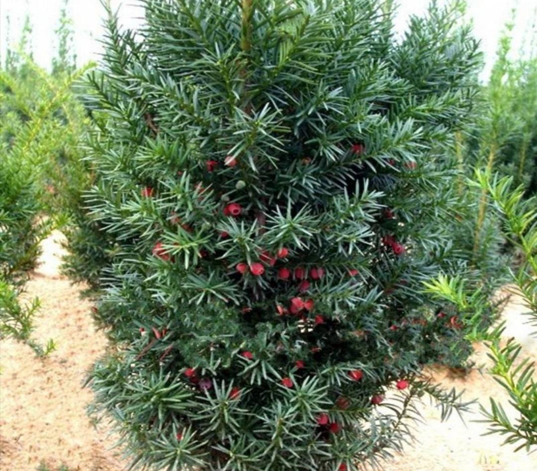 """家中養紅豆杉,滿足3個條件才能結果,結出""""紅豆""""更漂亮"""