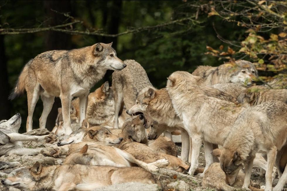 我们对狼性文化认知的缺失:狼群最重要的能力是预判目标