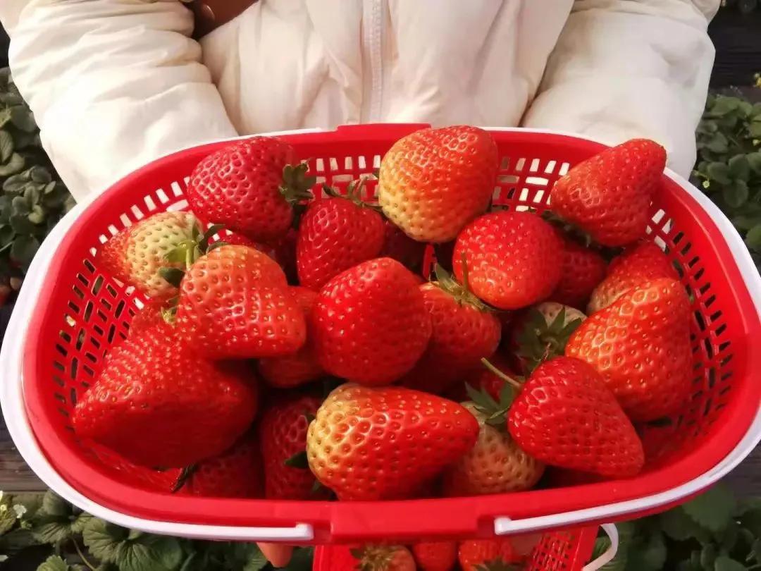 德阳周边去哪摘草莓?全新采摘攻略为你送上!