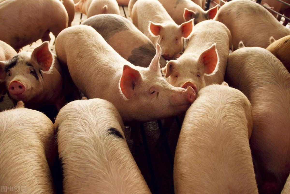 """""""3个利好""""齐聚,猪价不涨反跌,机构预测会更低,啥情况?"""