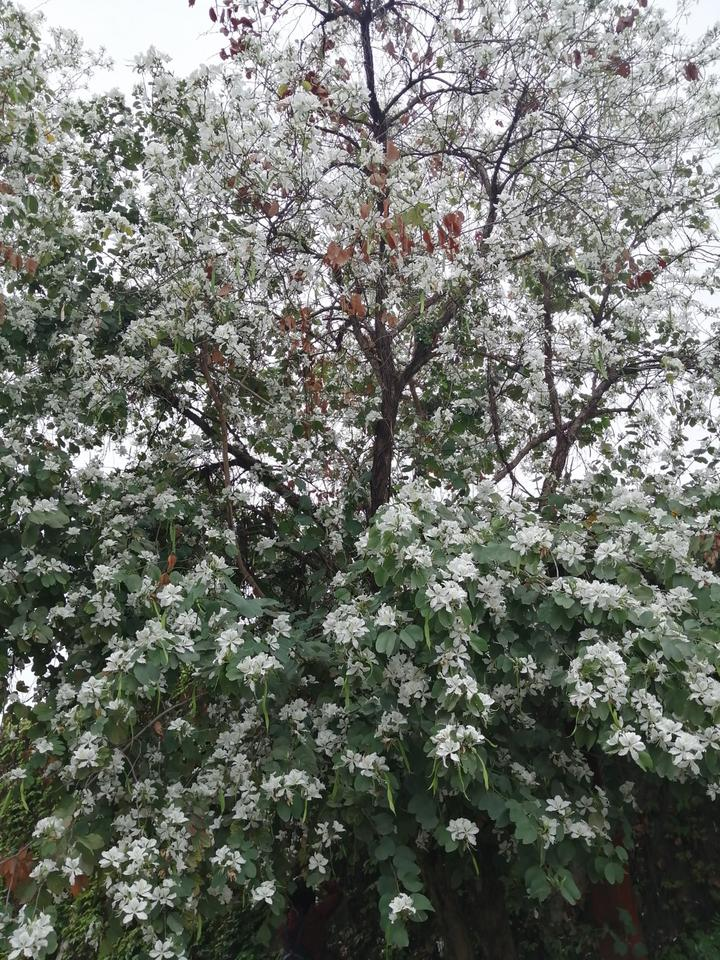 美得不可思议!江南大道这一排白花洋紫荆,清新脱俗近在身边