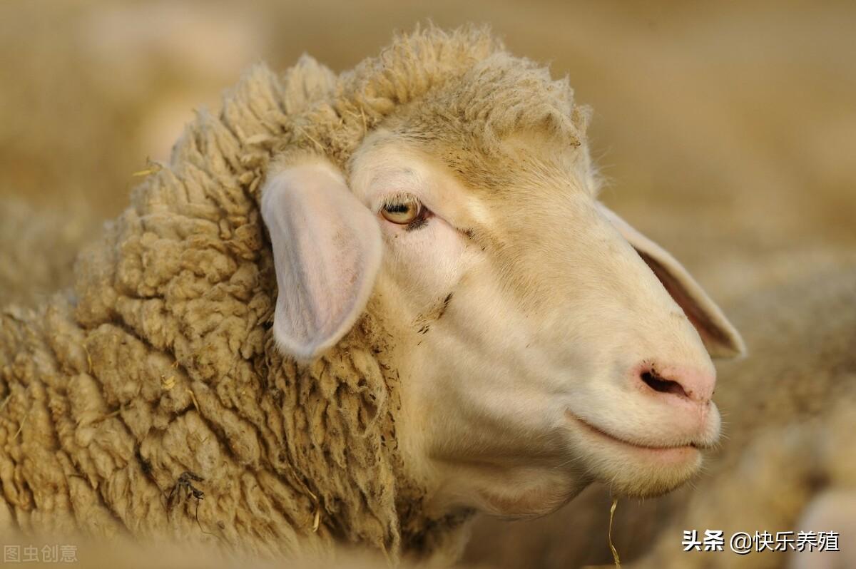 养羊效益提升的关键,是不断选育高产母羊,获得更多优质羔羊