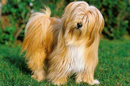 盘点最冷门的5种狗狗,你认识几种呢?