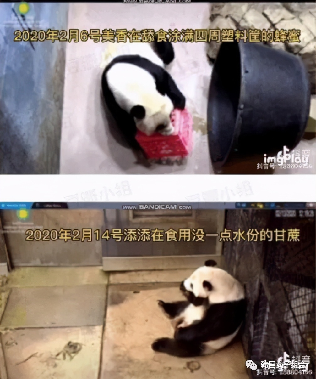 国内网友讨论火爆的,韩女团爱豆接触大熊猫,到底谁之过?