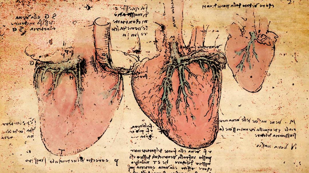 《自然》:回答500年前达芬奇的疑问,揭示人类心脏未知的秘密