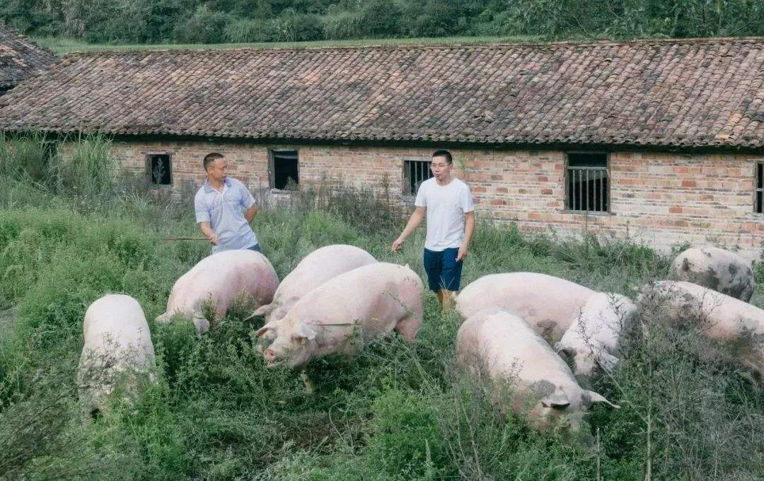 豬價跌破10元創新低,養豬要涼了嗎?玉米跌回1.3元,也要涼了?