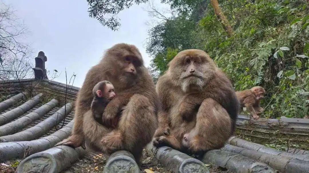 萌猴来了,峨眉山灵猴添丁增口