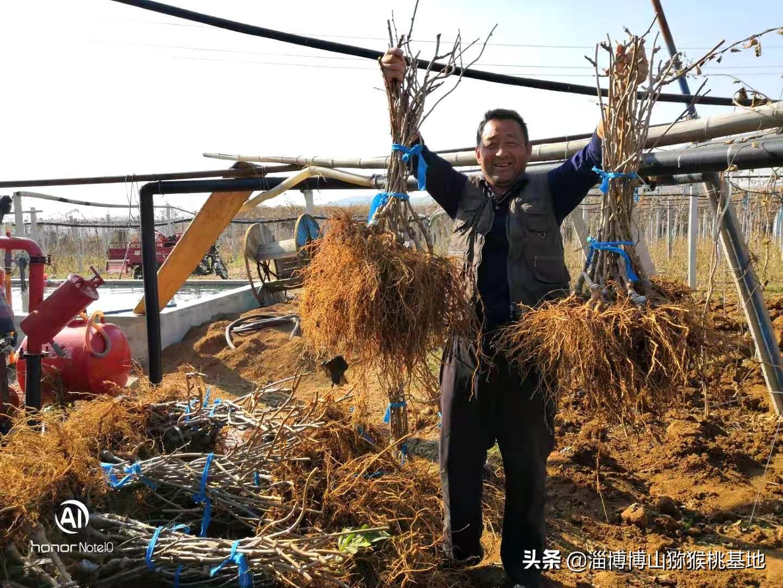 博山碧玉猕猴桃树苗的根系与树苗树苗好坏判断,让栽植苗木更放心