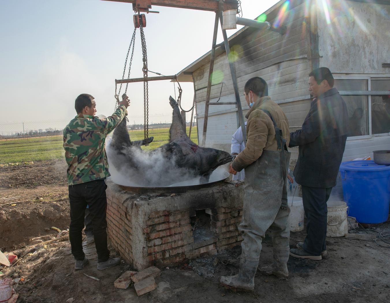 43幅图片展示关中人过年杀猪的全过程