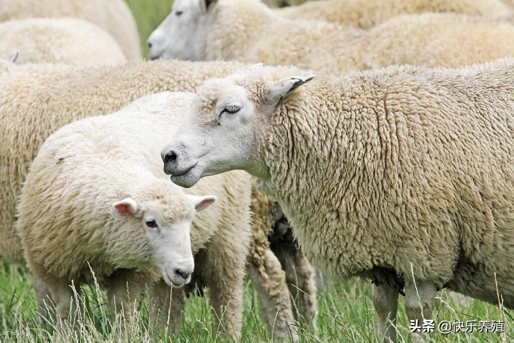 母羊生小羊要多长时间(母羊能繁殖几年)