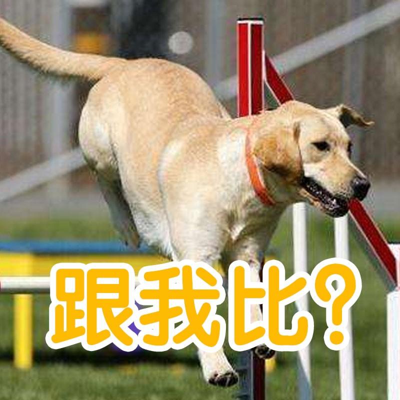 狗和猫比跳高,谁会赢?