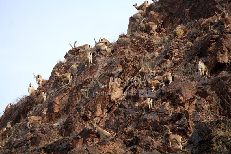 北山羊现身新疆温泉