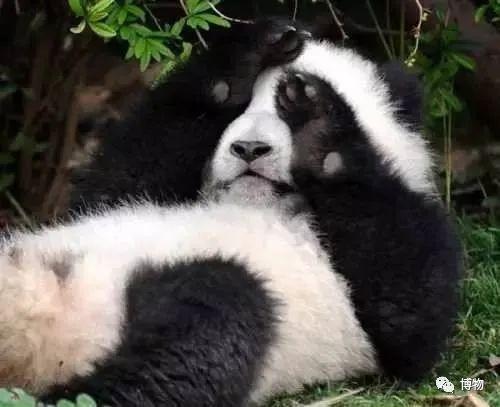 大熊猫为啥不能拥有一张彩色照片
