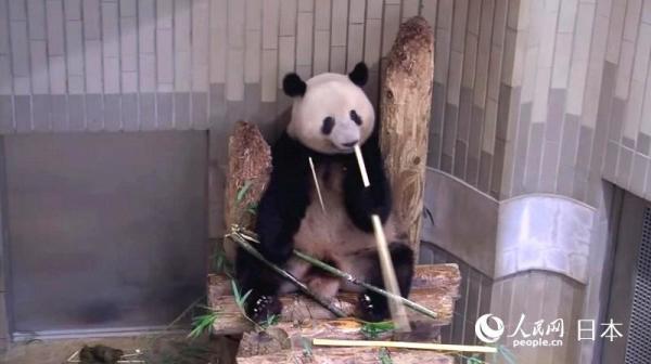 """大熊猫""""香香""""即将归国 上野动物园策划活动表谢意"""