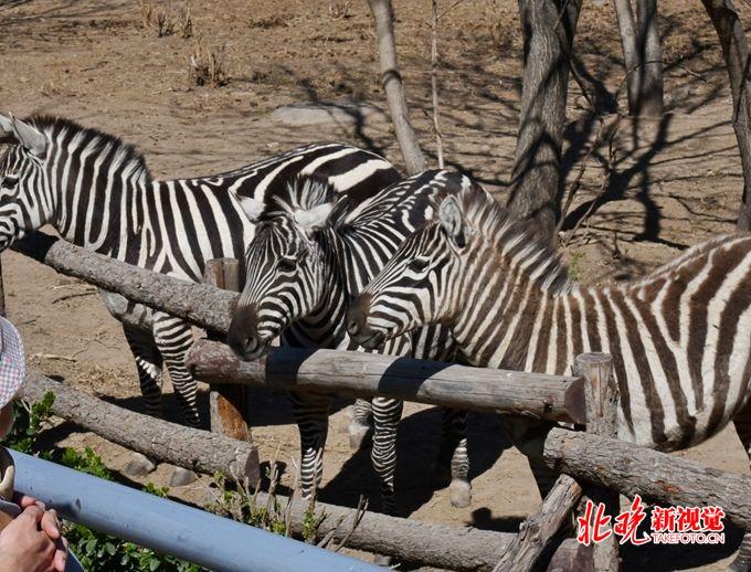"""不到10分钟,大羚羊就被三拨游客投喂,公园层层防护拦不住""""投喂手"""""""