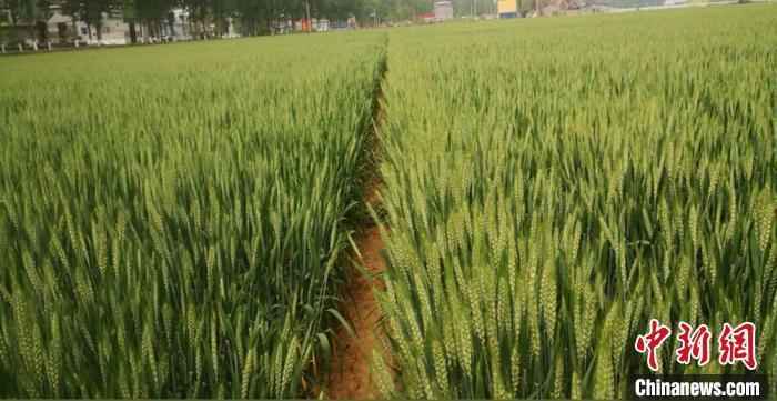纳米研究新成果:金属纳米粉体运用于小麦 大面积试种获高产提质