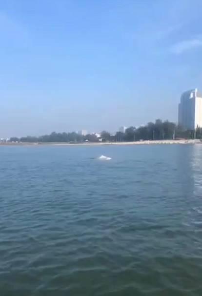海洋萌宝继续来!北海银滩近岸海域罕见出现中华白海豚