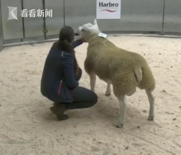 人民币335万!英国小羊拍出天价成全球最贵的羊