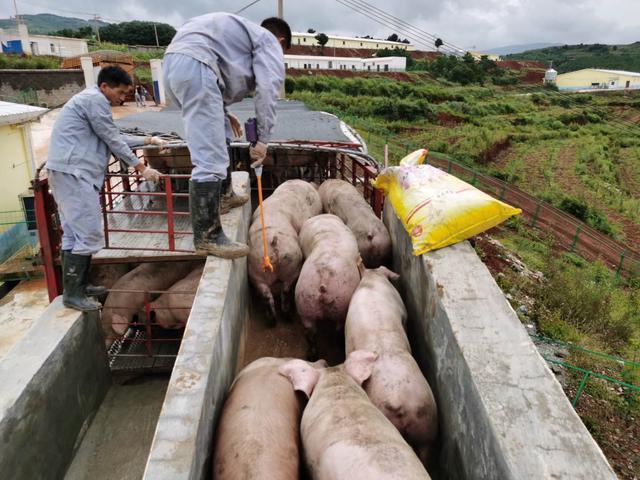 巧家小河塘生猪养殖基地首批扶贫生猪出栏