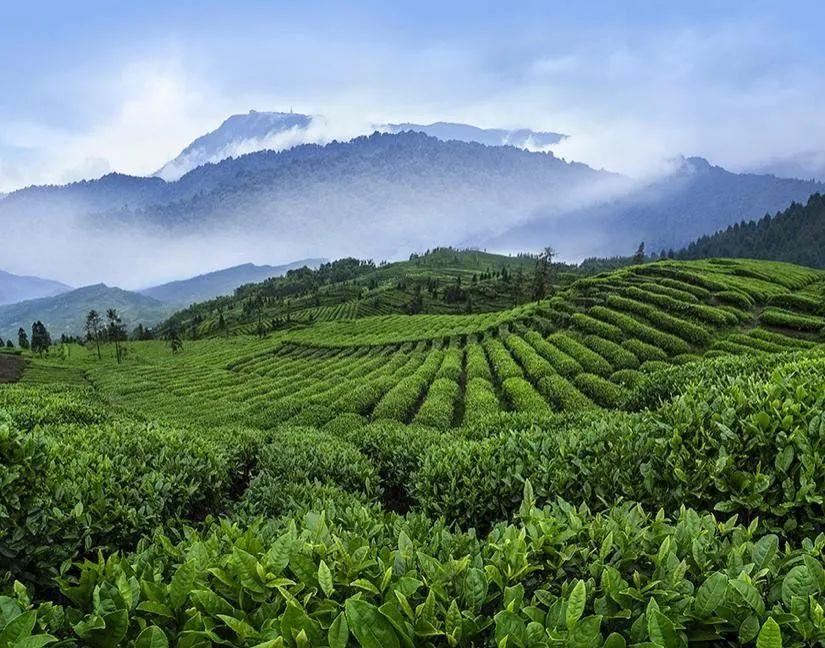 高端绿茶竹叶青荣登迪拜世博,中国好茶香飘世界