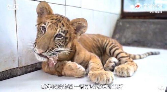世界唯一虎狮虎兽宝宝满百天,每天吃3斤牛肉,已度过生命危险期