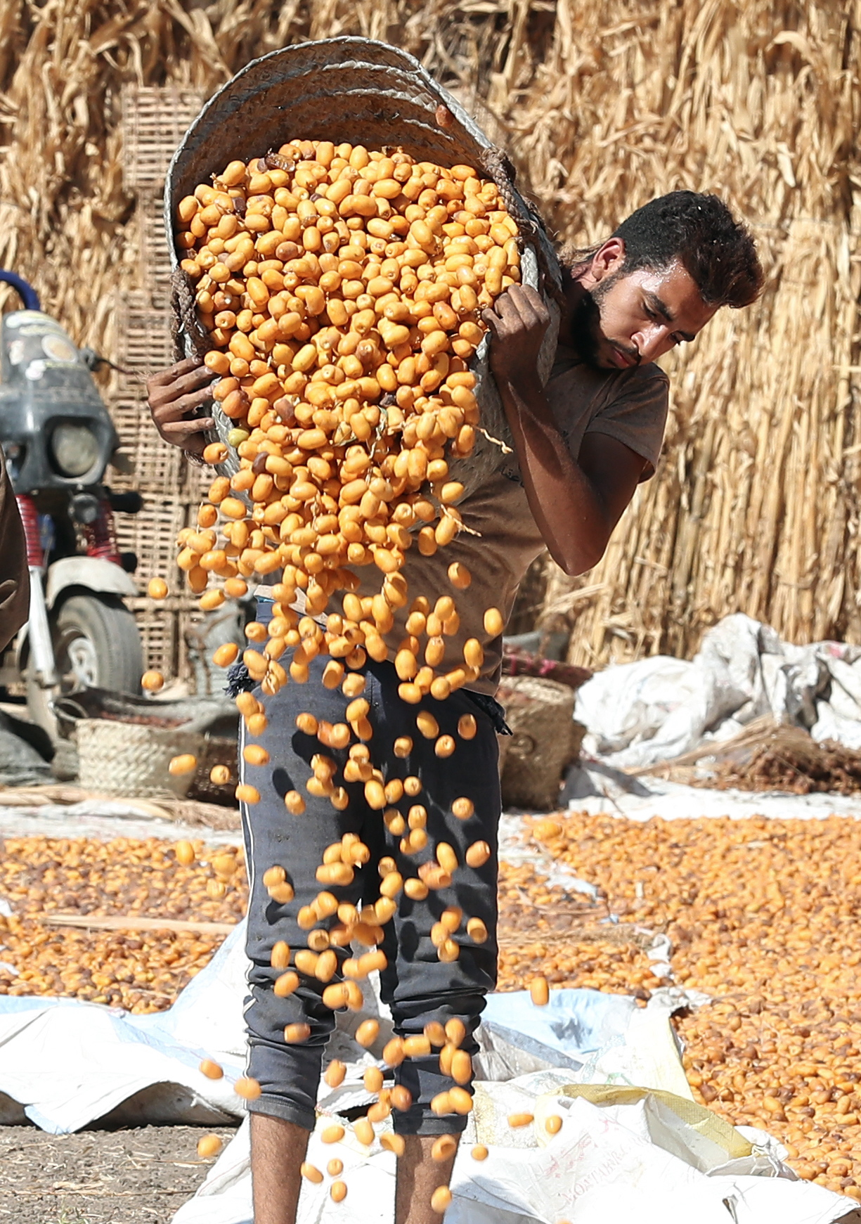 埃及椰枣丰收图