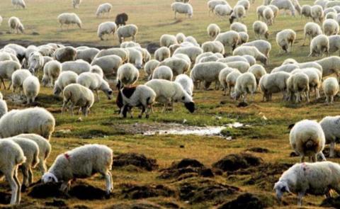 来自蒙古国的礼物,羊羊羊真的来了!湖北专供