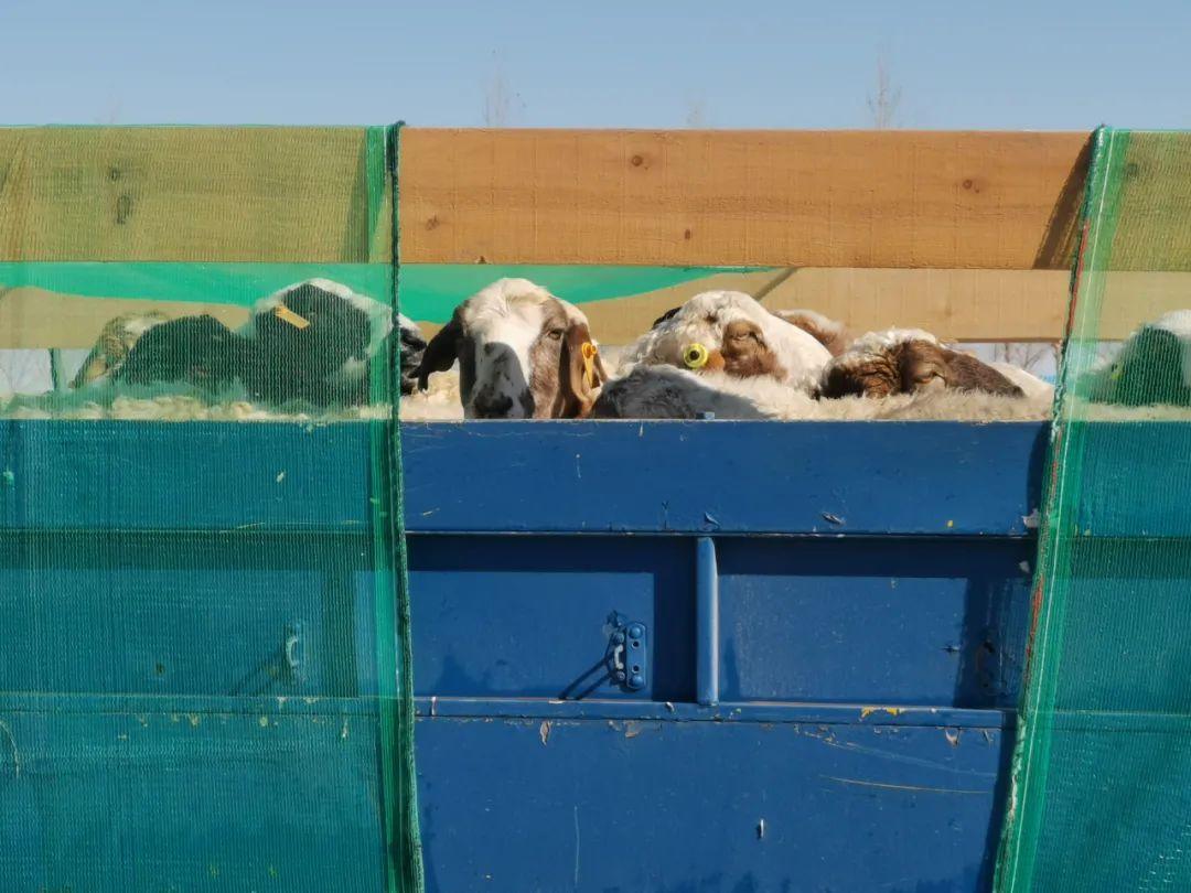 羊羊羊真的来了!首批4000只今日交付,专供湖北