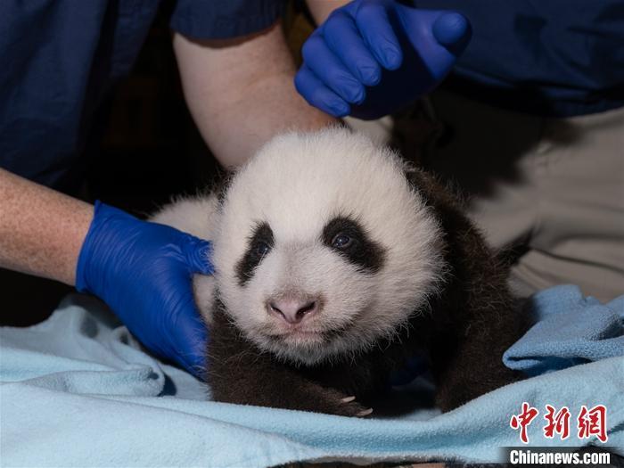 """美动物园澄清大熊猫""""照顾不周""""传闻:美香""""母子健康"""""""