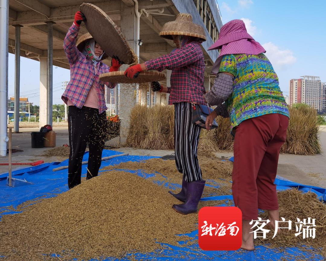 """海口""""空中农场"""":楼顶晚季水稻全部收割完毕 下季水稻月底前后插秧"""
