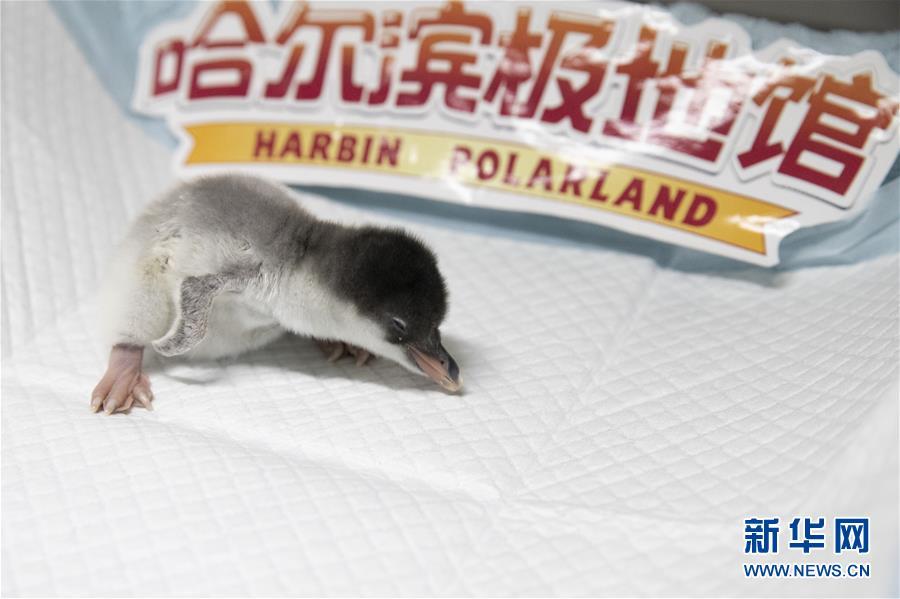 哈尔滨极地馆:企鹅宝宝降生
