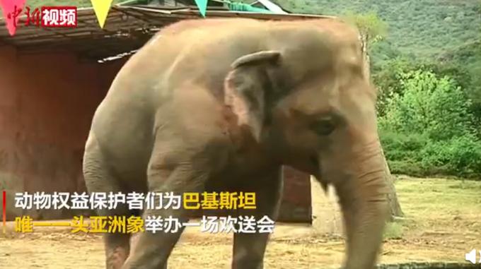 """巴基斯坦唯一亚洲象到柬埔寨""""养老"""",曾因疏于照料,体重超标却营养不良"""
