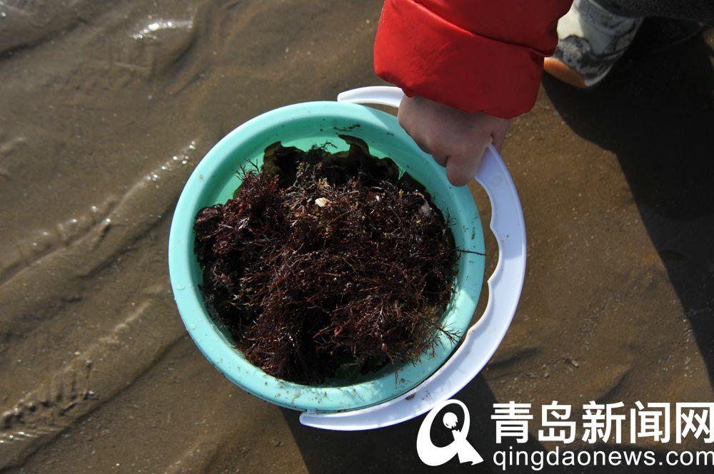 浮山湾海滨赶海乐趣多收获2斤以上大梭鱼很平常
