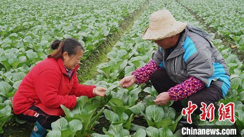 探访四川江安供港澳蔬菜基地:229项扫描检测农残合格方能采收