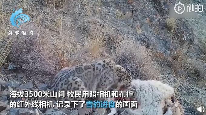 """新疆牧民拍""""雪豹吃羊""""全过程:利齿撕扯羊后腿,啃食还不忘警戒"""