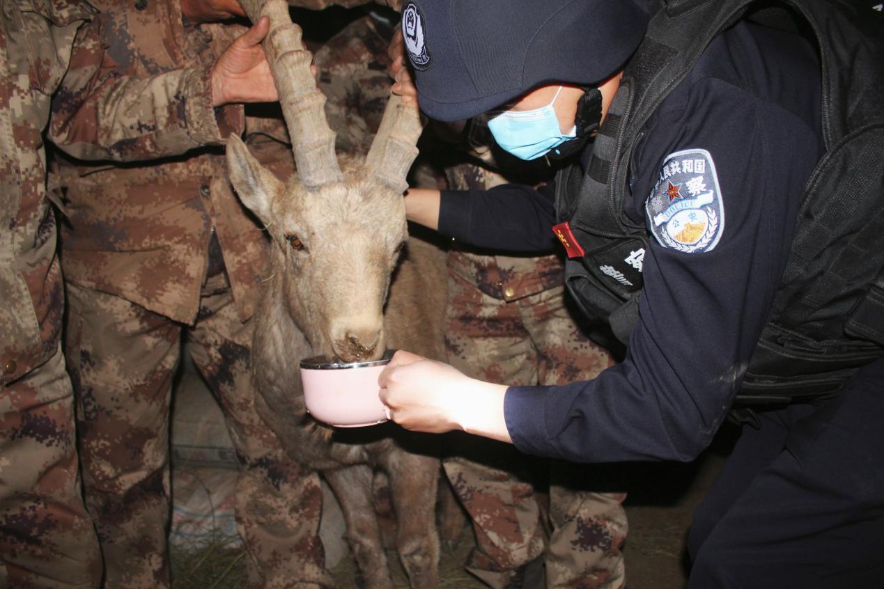 新疆克州乌鲁克恰提边境派出所成功救助一只受伤北山羊