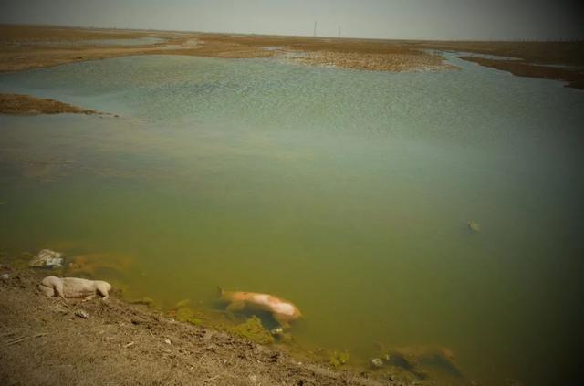 黄河大堤内出现死猪 当地政府回应:确实存在