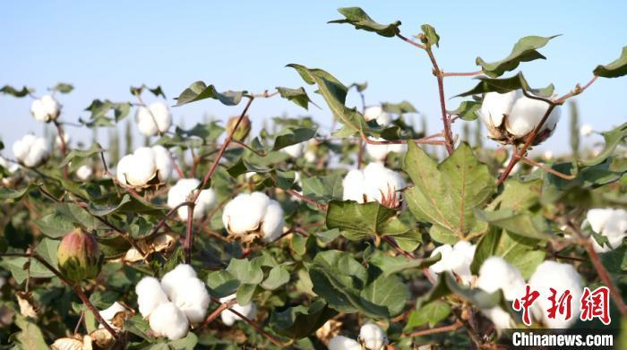 H&M、耐克们,对新疆棉花一无所知