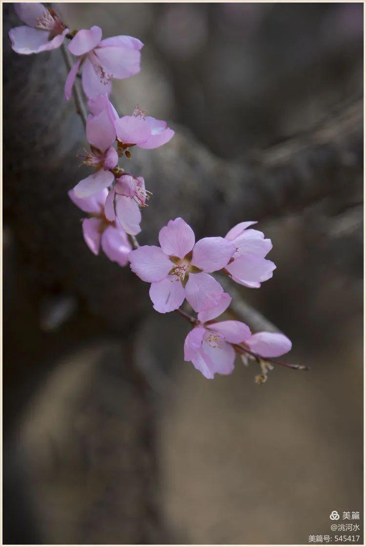 临洮:三月桃花踏春来