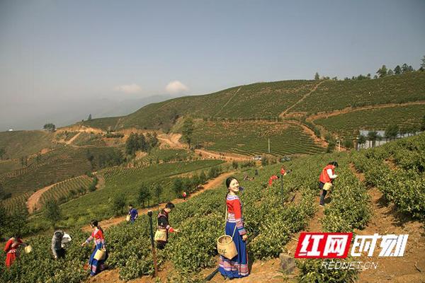 江华:崇江千亩茶园采茶忙 志愿者们来帮忙