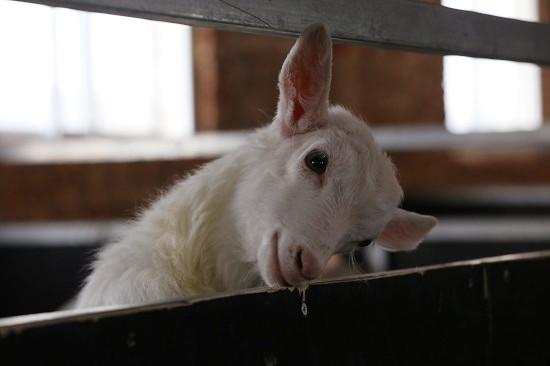 """科技助农村振兴:""""羊酸奶""""应该在这里生产"""