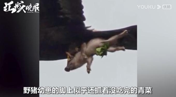 金雕抓着野猪空中飞!猪脚上还抓着青菜,网友:可怜的猪猪
