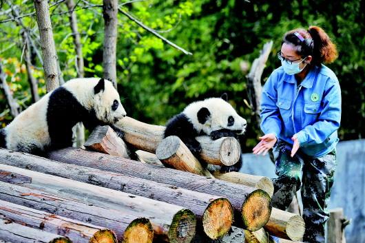 """在秦岭为大熊猫做""""铲官""""是一种怎样的体验?"""