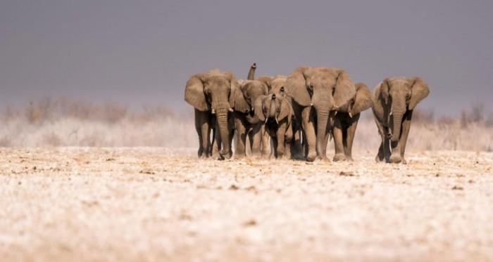 研究显示非洲大象的实际栖息地范围已经缩小到原来的17%-第2张图片-IT新视野